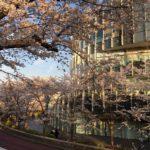 【コラム】-桜の木の下で- 星乃ちろる